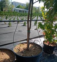 Схема организации микрополива в питомнике косточковых деревьев (яблони, груши)