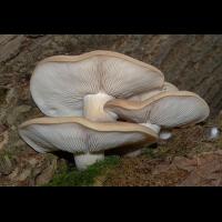 Мицелий Вешенки ильмовой / Буковый гриб (Hypsizygus ulmarius)