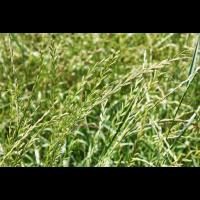 Пажитниця (райграс) Багаторічна 0,5кг