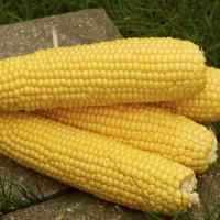 Кукурудза цукрова Трофі F1 - Seminis